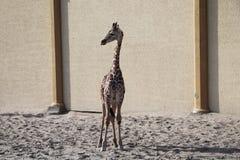 Baby giraffe. Wild nature. Giraffe at the zoo stock photo