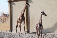 Baby giraffe. Wild nature. Giraffe at the zoo stock photos