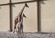 Baby giraffe. Wild nature. Giraffe at the zoo royalty free stock photos