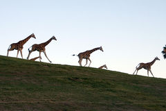 Giraffe family. Running together at sunset Stock Photo