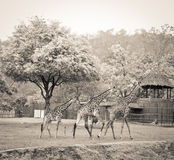 Giraffe family. Walking together, parents are leading and a child is following Royalty Free Stock Image