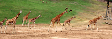 Giraffe family. Walking at wild animal park in San Diego Royalty Free Stock Photography