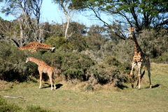 Giraffe family. A mother, father and baby giraffe eating a thorn tree on a game farm in south africa Stock Image