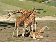 Giraffe Family. Lazying in the sun Royalty Free Stock Photos