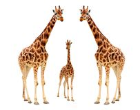 Giraffe family. Isolated on white background Royalty Free Stock Photos