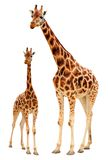Giraffe family stock photos