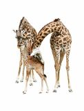 Giraffe family. Mother, father and baby giraffe isolated on white background Royalty Free Stock Photography