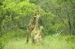 Giraffe Family. Daddy giraffe looking after his family Royalty Free Stock Images