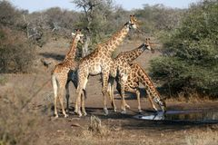Giraffe Family Drinking Stock Images