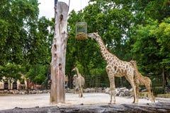 Giraffe family feeding in Lisbon zoological park Stock Images