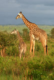 Giraffe Family Feeding Time. An adult and a juvenille giraffe share a meal over an acacia tree Royalty Free Stock Photos