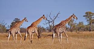 Giraffe family. Giraffe Giraffa camelopardalis. Closeup. Mesh giraffe. Wild nature. Giraffe is the highest terrestrial animal. Of the planet royalty free stock images