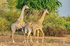 Giraffe family. Giraffe Giraffa camelopardalis. Closeup. Mesh giraffe. Wild nature. Giraffe is the highest terrestrial animal. Of the planet royalty free stock photos