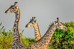 Giraffe family. Giraffe Giraffa camelopardalis. Closeup. Mesh giraffe. Wild nature. Giraffe is the highest terrestrial animal. Of the planet royalty free stock photography