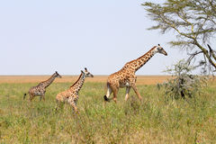 Giraffe family Royalty Free Stock Images