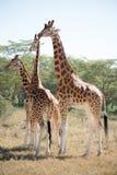 Giraffe family Stock Images