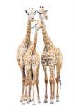 Giraffe family isolated Stock Photo