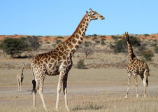 Giraffe family in the Kalahari Stock Image
