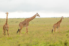 Giraffe family in Kenya Stock Photo
