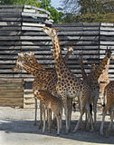 Giraffe family 1 Stock Images