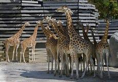 Giraffe family 3 Royalty Free Stock Image