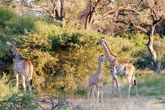 Giraffe family in morning light stock photos