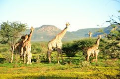 Giraffe Family Royalty Free Stock Photos