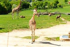Giraffe family Stock Photos