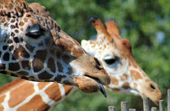 Giraffe family portrait with tongue out. Giraffe family portrait mother and son sticking out tongue at local zoo against a green foliage background Royalty Free Stock Image