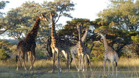 Giraffe. Family in the South African bush Royalty Free Stock Photos