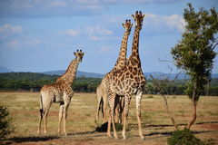 Giraffe. Family on a sunny day in Africa Royalty Free Stock Image