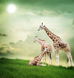 Giraffe family. Three giraffes relaxing on the fantasy landscape Royalty Free Stock Photos