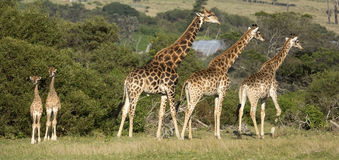 Giraffe family with two tiny babies. Two small giraffe babies enjoying the winter sun  with a group of adults Stock Photo