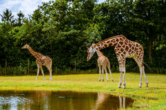 Giraffe family Royalty Free Stock Image