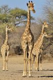 Giraffe Family - Wildlife Background of Watchers in Africa Stock Image