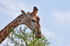 Giraffe Feeding Royalty Free Stock Images