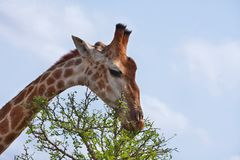 Giraffe feeding Stock Images