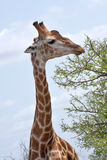 Giraffe feeding Royalty Free Stock Photos