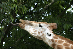 Giraffe feeding. Giraffe  stretches his long tongue out to feed at a Sydney zoo, Australia Royalty Free Stock Photos