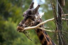 Giraffe feeding Royalty Free Stock Photo