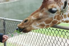 Giraffe Feeding. Child feeding a small branch from a tree to a giraffe Royalty Free Stock Images
