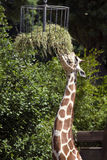 Giraffe feeding Royalty Free Stock Photography