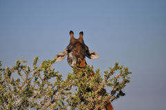Giraffe. Feeding on an acacia in Africa Stock Images