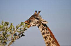 Giraffe. Feeding on an acacia in Africa Royalty Free Stock Image