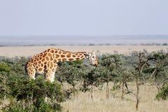 Giraffe feeding Acacia canopy Royalty Free Stock Photography