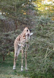 Giraffe feeding the acacia tree Stock Photo