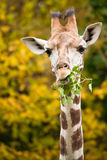 Giraffe feeding branches Royalty Free Stock Images