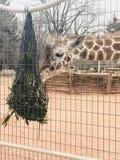 Giraffe. Feeding at Denver, Colorado Zoo royalty free stock photo