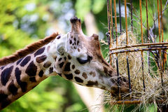 Giraffe feeding. Giraffe eating grass from the steel cage Stock Photo