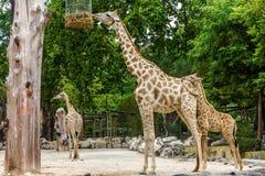 Giraffe feeding in garden, Lisbon zoo Stock Images